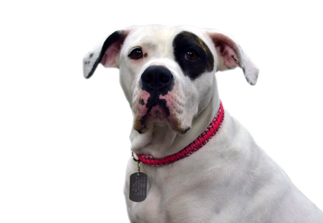 قلاده گردنی سگ