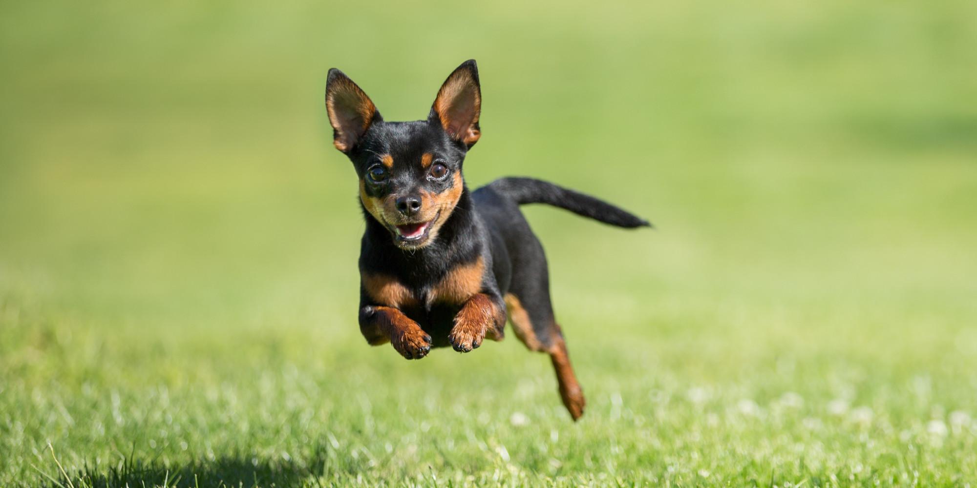 chihuahuas-running.jpg