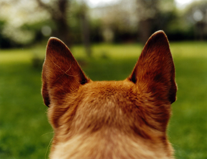 7 Tips to Dog's Ear Care - Pets Grooming Prices
