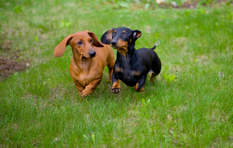 Dog Breeds That Came From Germany